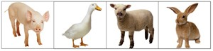 Four images, a pig, a duck, a lamb and a rabbit